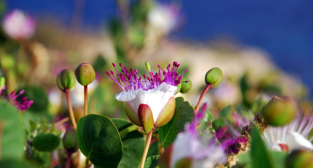 Capperi Fiori Vegetazione