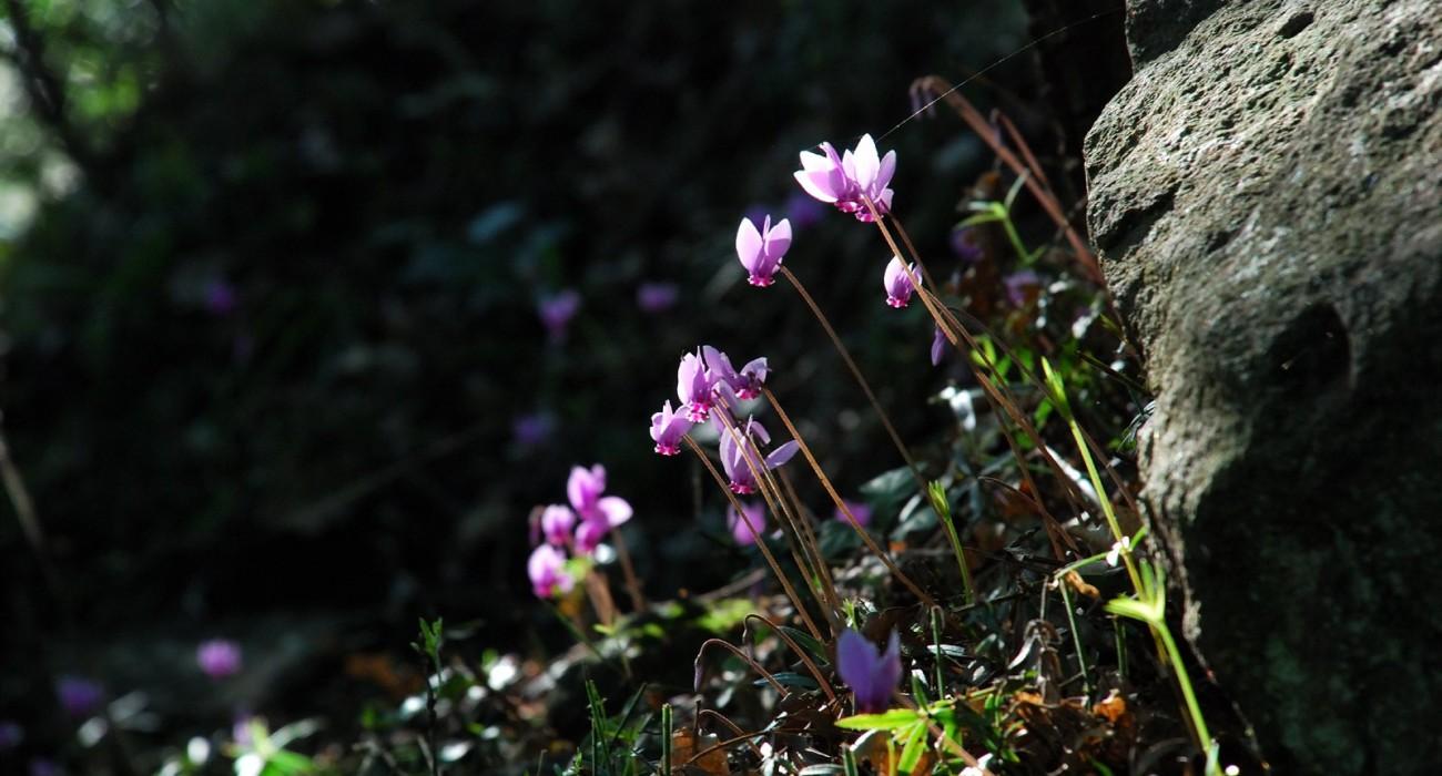 Zafferano Fiore Crocus Vegetazione