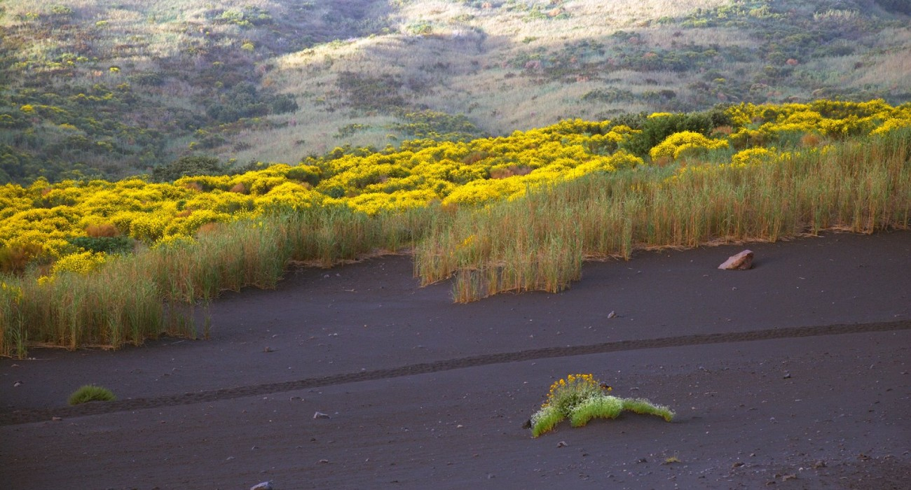Ginestra Isole Eolie Fiore Stromboli