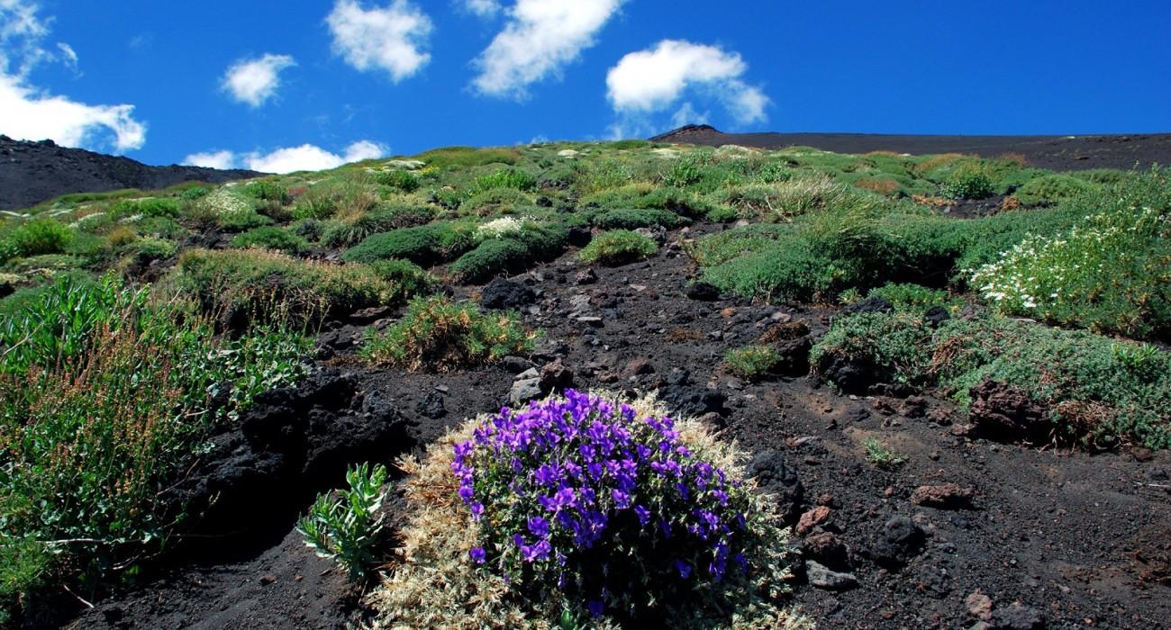 Etna Vegetazione Viola Fiori